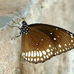 Euploea_core_20081012MG391.jpg