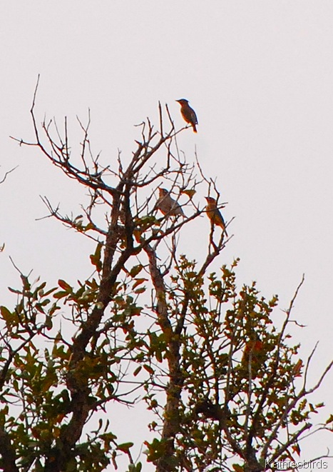 9. waxwings and robins-kab