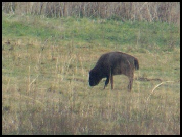 Buffalo, horses & deer 009