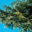 hydroidy - Millepora dichotoma - Fire coral 2.jpg