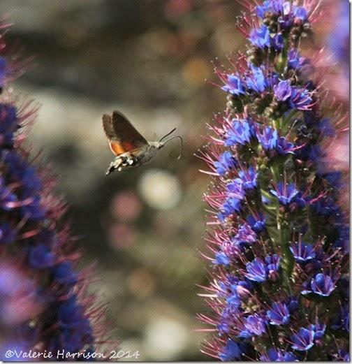 hummingbird-hawkmoth-3