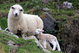 Mama Sheep With A Spring Lamb - Otago Peninsula, New Zealand