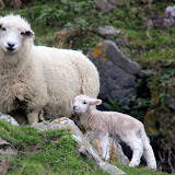 Mama Sheep With A Spring Lamb - Otago Peninsula, New Zealand