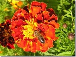 včely na květech 078