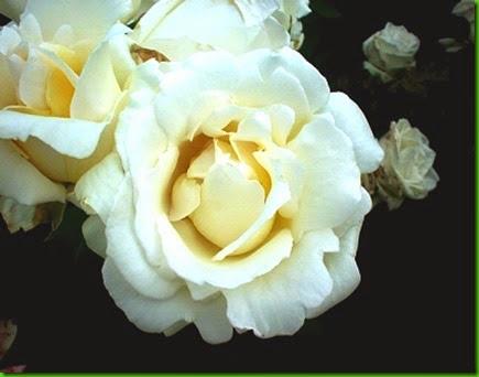 Rosa Natal Branco