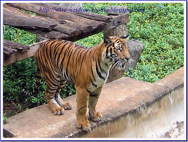 เสือ ในสวนสัตว์ นครราชสีมา