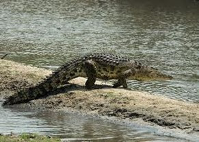 Amazing Pictures of Animals, Photo, Nature, Incredibel, Funny, Zoo, West African, crocodile desert crocodile, Crocodylus suchus, Alex (7)