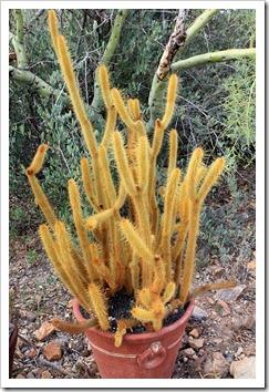 120728_ArizonaSonoraDesertMuseum_Bergerocactus-emoryi-_02