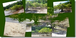 refernce photos of mangroves