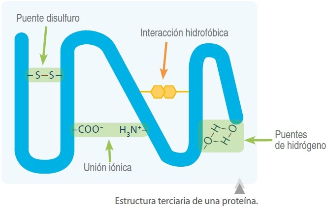 estructura terciaria proteinas