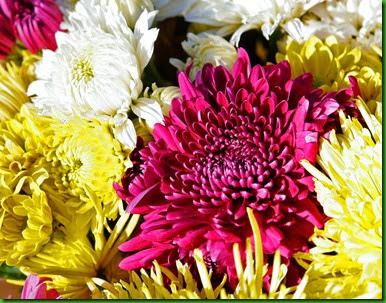 Crisantemo Dobrado Mix 1
