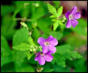 04 - Spring Wildflowers - Wild Geranium