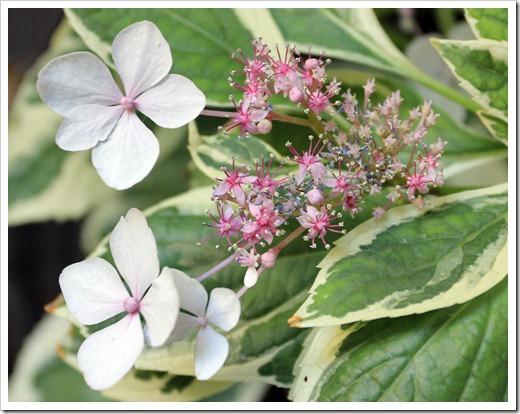 130524_Hydrangea-macrophylla-Tricolor_08