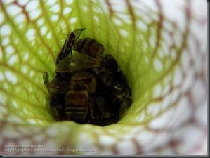 tarnok full bees