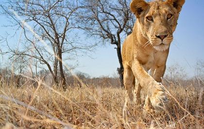 lions_09aus