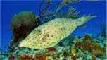 Nouvelle-Calédonie poisson lime gribouillé