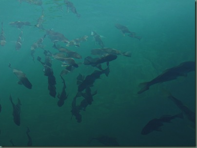 fish seen from the underwater viewing area