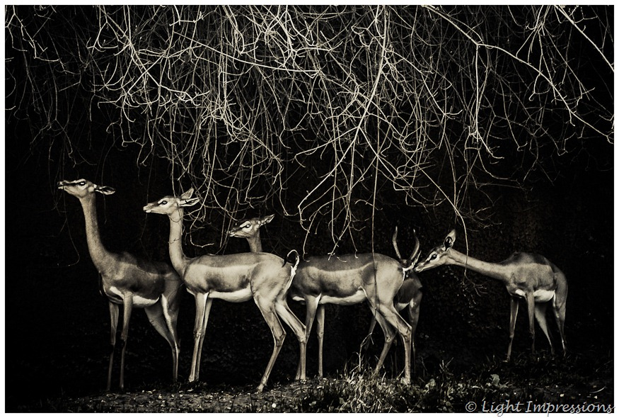 Light Impressions-Speke's Gazelles
