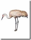 sandhill crane for blog 2