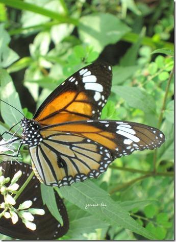 黑脈樺斑蝶2