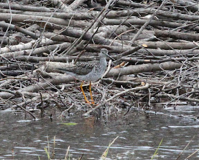 Greater Yellowlegs in a bog near Echo Lake