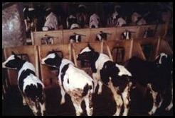 Allevamento intensivo di bovini