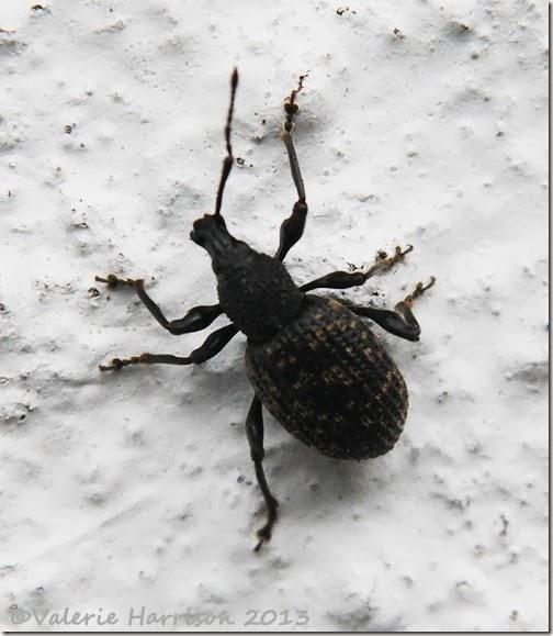 vine-weevil