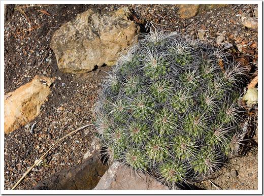 111228_UCBG_Mammillaria-compressa_02