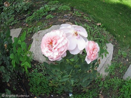 fisheye_20110914_roses