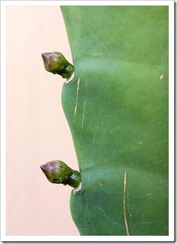 110730_Cereus-hildmannianus-susp