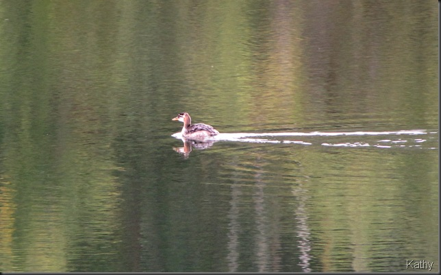 Young Red-necked Grebe on lake