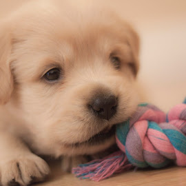 Chewing by Linh Tat - Animals - Dogs Puppies ( resting, playful, alert, puppy, cute, dog, animal )