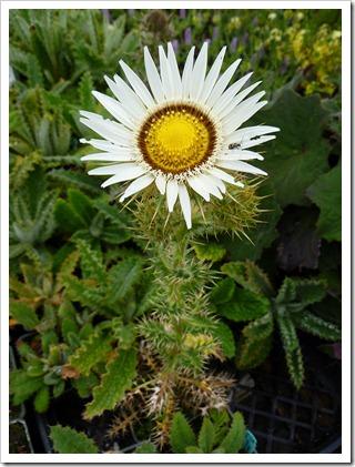 Berkheya-cirsiifolia_02