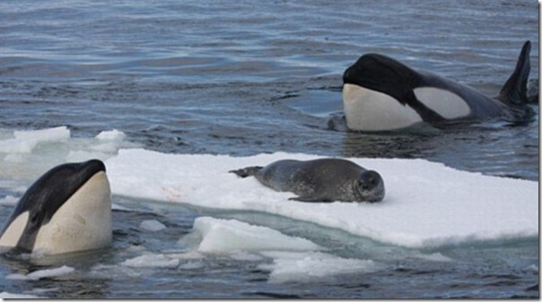 Nenhuma chance para a foca (1)