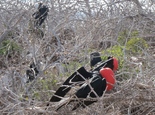 Male frigate birds, with their red sacs inflated
