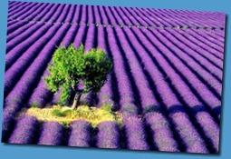 christalenergy_lavender field_2010.03.31