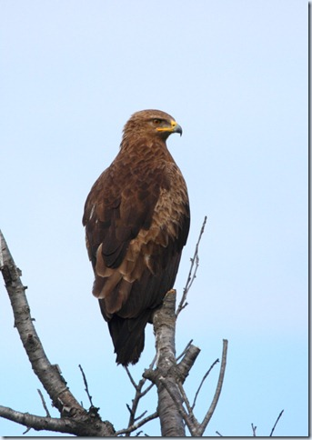 lesser-spotted_eagle
