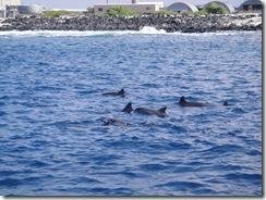 ハワイ島ドルフィンスイム