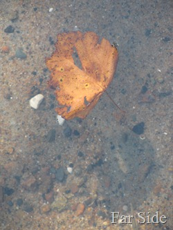 leaf in the water Sept 11 2011