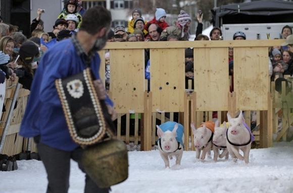 Pig Racing in Switzerland 03