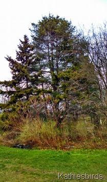 3. 5-4-2014 porcupine pine tree