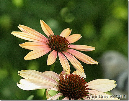 Echinacea_SummerSky