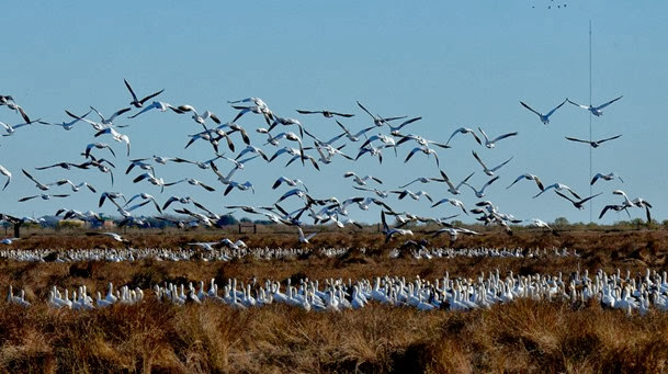 snow geese at Anahuac