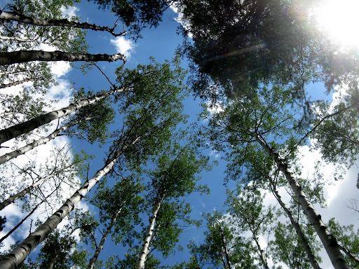 Beautiful tall aspens along the Animas River trail.