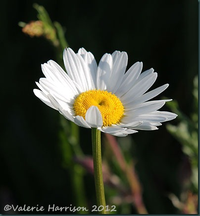 Ox-eye-Daisy-2