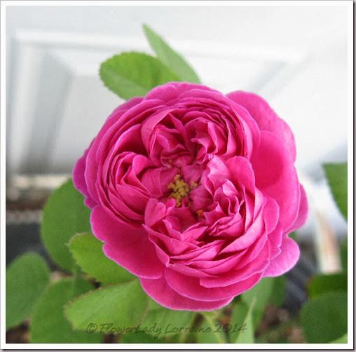 02-12-rose-de-rescht6