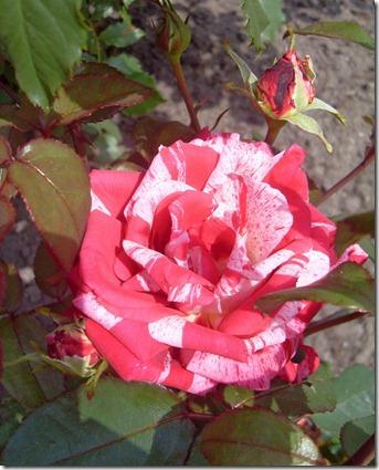 2011_07 Blumen im Garten (1) (644x800)