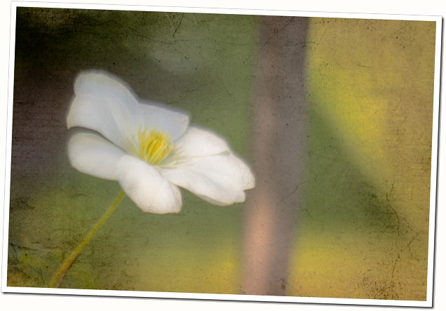 white clematis with kk texture