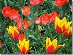 Tulips 2012 046