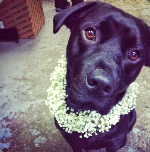 shop dog 943046_10152812940330510_1488635261_n mackie in a gypsophila collar planet flowers